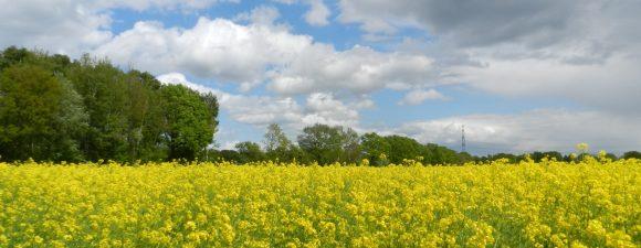 Blühendes Rapsfeld mit leicht bewöltem Himmel